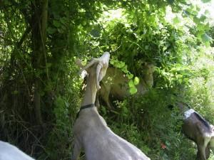Web Tissot chèvres sur parcours