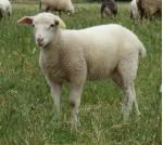 agneau au pré