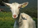Une chèvre bien paisible.