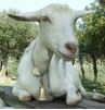 Une chèvre sans doute un peu lasse.