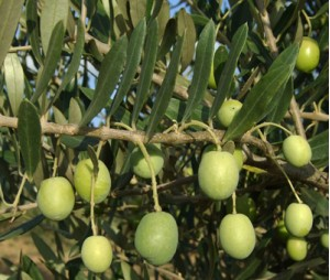 olives_0104_f30_retou