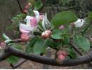Le pommier en fleur