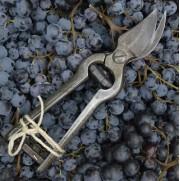 Raisins et secateurs