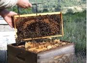 Des abeilles et du miel des Corbières !