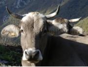 une vache à Cailla