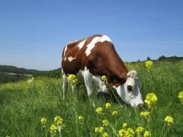une vache Montbéliarde dans son pré
